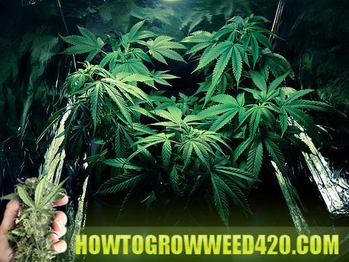 How to Grow Weed 420 - Ebooks and Cannabis Seeds - Coupon Codes - Save On Cannabis