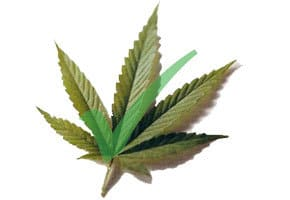 cannabis leaf with green check mark