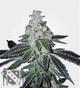 MSNL Cannabis Seeds Coupons Gelato Feminised Seed