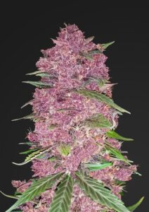 Seed City Coupons Purple Lemonade Cannabis Seeds