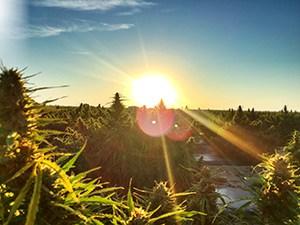 Grass Guru Seeds Coupon Code - Online Discount - Save On Cannabis