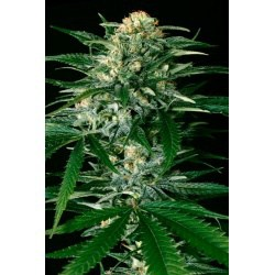 Super Auto Flowers Coupon Code Online Discount Save On Cannabis