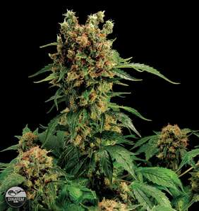 Coffee Shop Seeds Coupon Code discounts promos save on cannabis online Store10