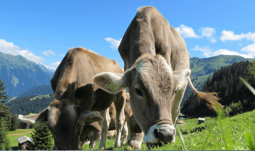 Difiori Coupon Code Swiss Cows