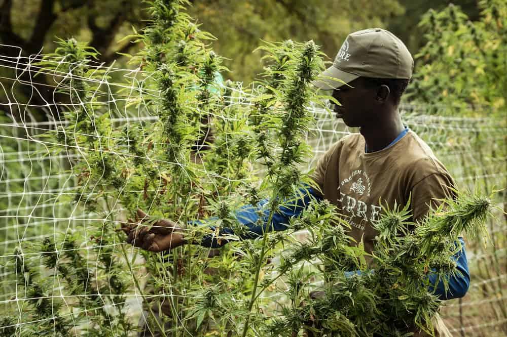 master grower (marijuana botanist) salary