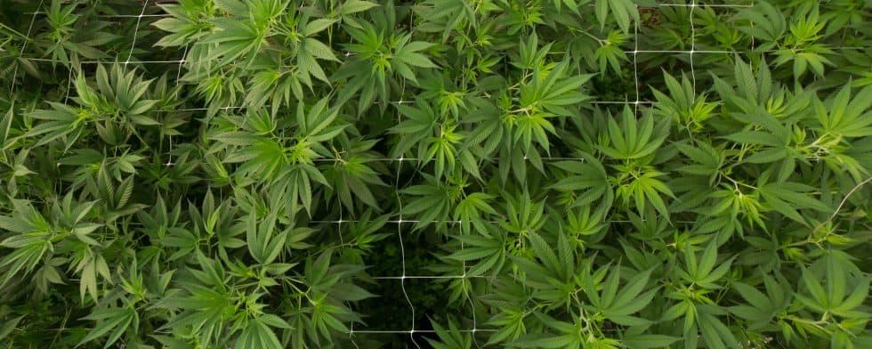 4cornerscannabis CBD Coupon Code cannabis garden