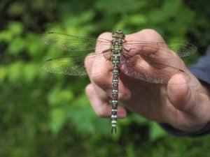 Amberwing Organics CBD Coupon Code Dragon Fly