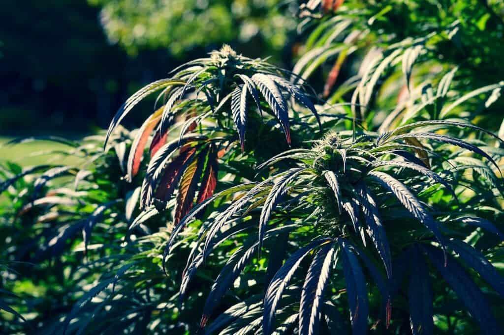 Indica vs Sativa Cannabis Differences