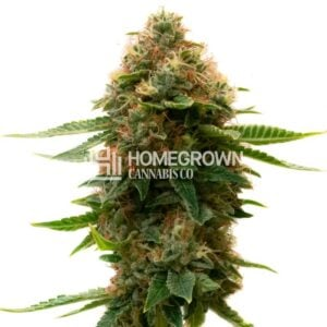 Homegrown Cannabis Co Shishkaberry Feminised Seeds